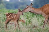 Red Deer (cervus Elaphus) Female Hind Mother And Young Baby Calf Having A Tender Bonding Moment poster