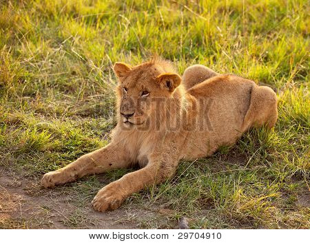African Female Lion