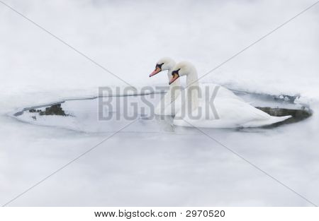 Couple Of Swans In The Ice-Hole