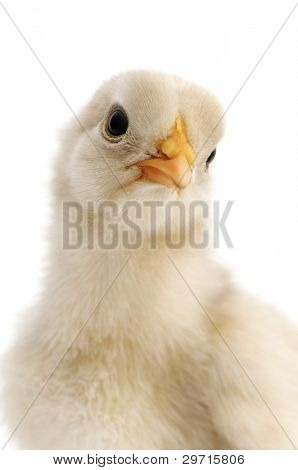 chicken close-up isolated on white background