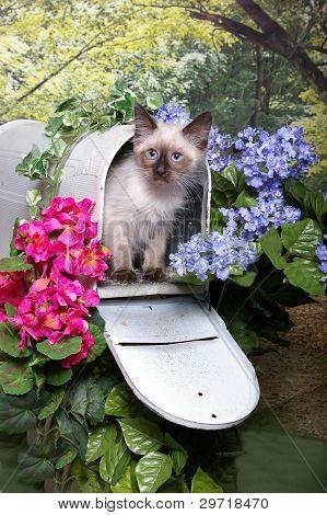 Himalayan Kitten in a Mailbox