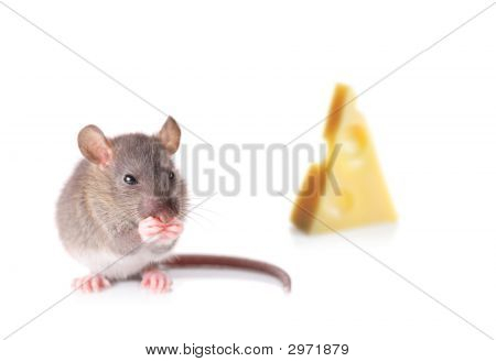 Mouse Nibbling Some Cheese