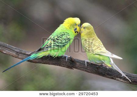 Cute Budgie Pair