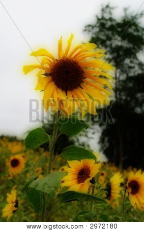eine Sonnenblume es wagt, stehen aus