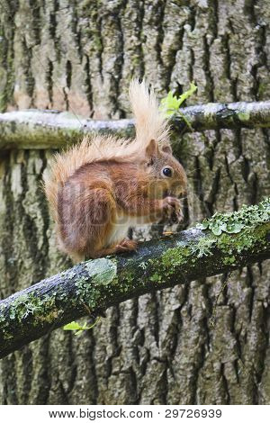Red Squirrel 03