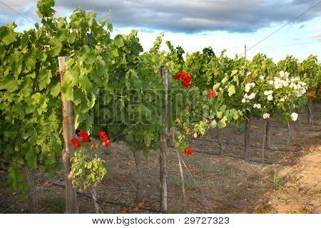Grape vines, Stellenbosch, South Africa.