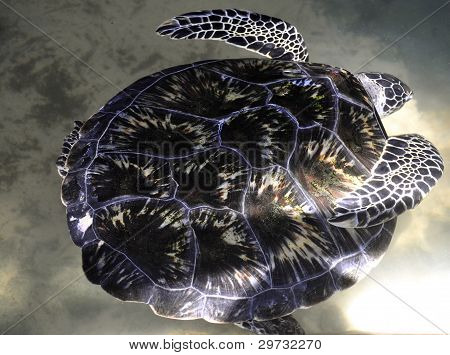A Green Sea Turtle in Sri Lanka