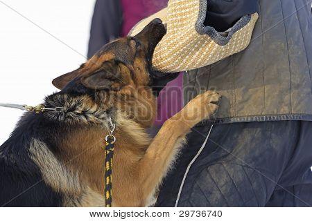 Duitse herder hond opleiding