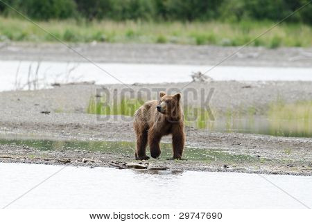 Alaskan Brown Bear Walking Along The Shore