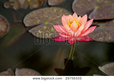 Rosa thai lotus