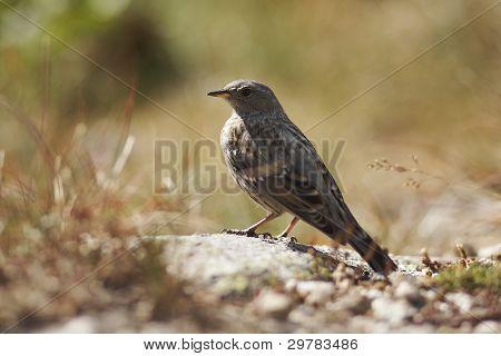 Prunella collaris wild bird