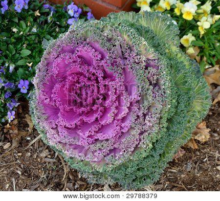Ornamental Kale Plant