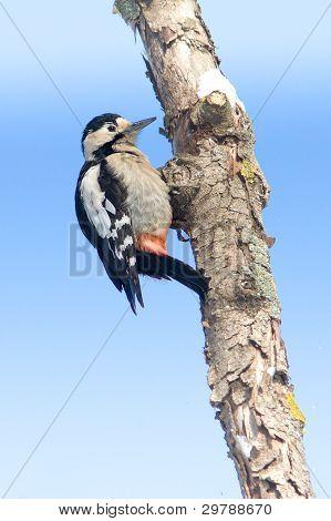 A female of Syrian Woodpecker on branch / Dendrocopos syriacus