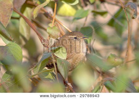 Eurasian carriça (troglodytes Troglodytes)