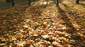 Autumn Leaves On Ground With Sunlight Rays. Ground Covered With Fallen Leaves. Golden Autumn In Fore poster