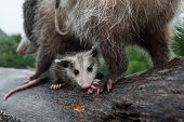 Wet Opossum Joey (didelphimorphia) Huddles Under Mother Summer - Captive Animals poster