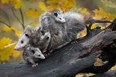 Opossum (didelphimorphia) Piled High With Joeys Autumn - Captive Animals poster