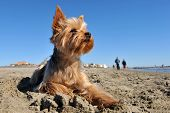 stock photo of dog-walker  - portrait of a purebred yorkshire terrier on the beach walkers in the background - JPG