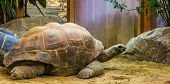 Closeup Of A Aldabra Giant Tortoise, Largest Land Turtle Specie In The World, Tropical Reptile Speci poster