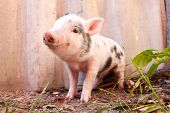 image of piglet  - Close - JPG