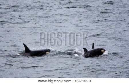 Baby Whale With Mother