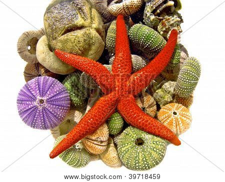 Starfish, Seashells