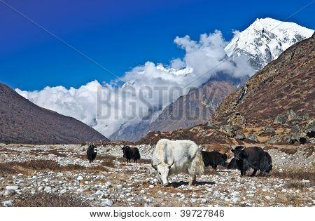 Herd of yaks grazing in the Himalaya