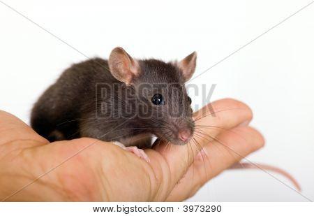 Small Black Rat