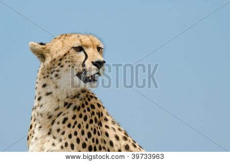Cheetah And Sky