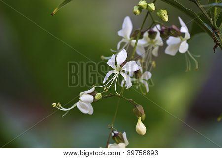 Seaside Clerodendrum(ndian Privgp)