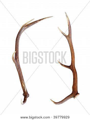 Red Deer Antler Isolated On White