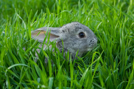 picture of baby animal  - Little gray baby rabbit on green grass - JPG
