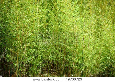 Stand Of Fresh Young Bamboo