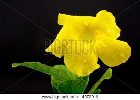 Golden Trumpet Flower Isolated
