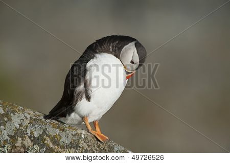 Atlantic Puffin preening on rock Runde island Norway