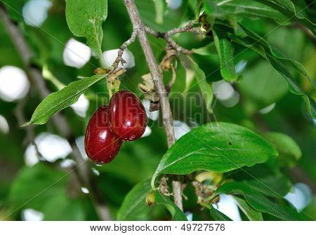 Two Red Ripe Berries Of Cornelian Growing