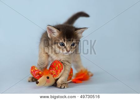 Cute Somali Kitten On The Blue Background