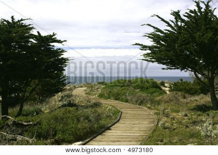 Boardwalk Between Monterey Cypress (cupressus Macrocarpa) Trees