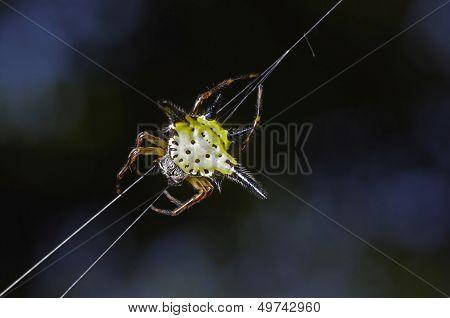 a star spider