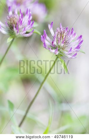 Blooming red clover (Trifolium)