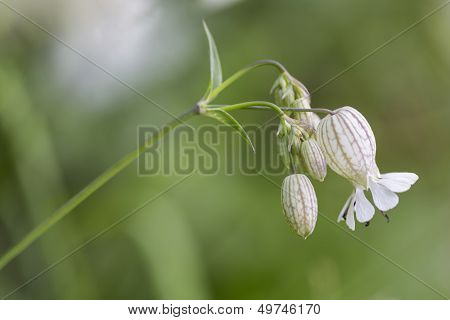 Bladder campion (Silene vulgaris) closeup