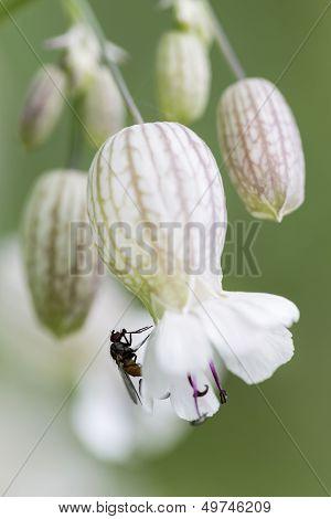 Bladder campion (Silene vulgaris) closeup