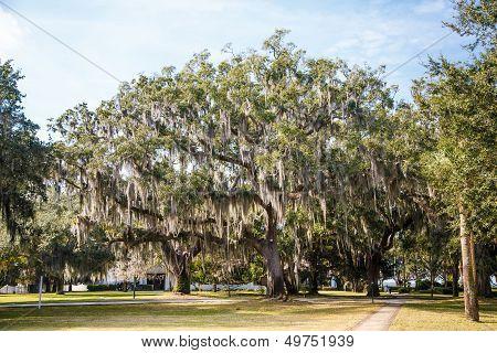 Walking Paths Among Oak Trees With Spanish Moss