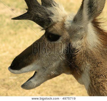 Antelope Close Up