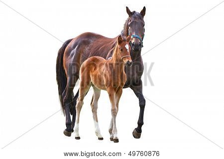 Horse with foal isolated over white