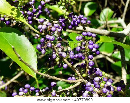 Plant With Violet Berries