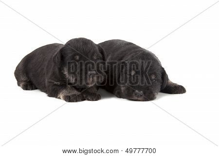 Two Black Puppies Of Miniature Schnauzer