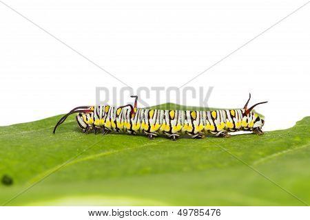 Plain Tiger Caterpillar
