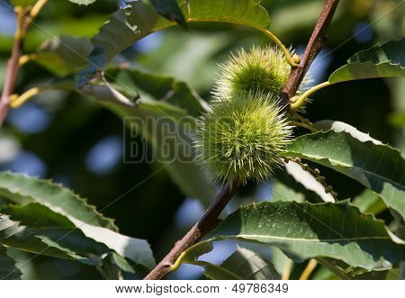Prickly Shell That Covers The Chestnut On Branch Of A Tree