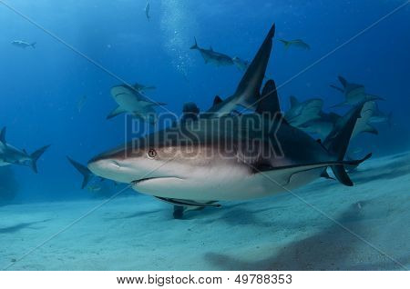 A Caribbean Reef Shark Close up